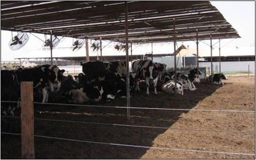 คำอธิบายภาพ : cows-under-shade