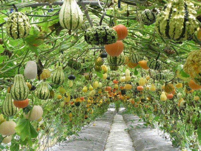 คำอธิบายภาพ : squash-permaculture